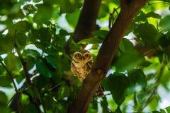 Beschmutzter Owlet Stockfotografie