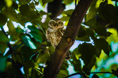 Beschmutzter Owlet Lizenzfreie Stockfotos