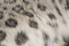 Beschmutzter Pelz eines Schneeleoparden Stockfoto