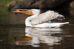Beschmutzter Rechnungspelikan mit Fischen in seinem Schnabel Lizenzfreie Stockfotografie