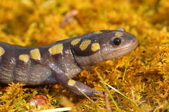 Beschmutzter Salamander Stockbild