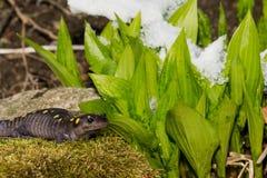 Beschmutzter Salamander Lizenzfreie Stockfotos