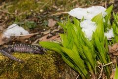Beschmutzter Salamander Stockfotografie