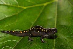 Beschmutzter Salamander Lizenzfreies Stockbild