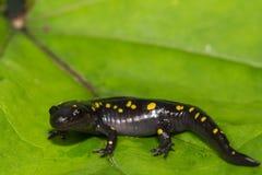 Beschmutzter Salamander Stockfoto