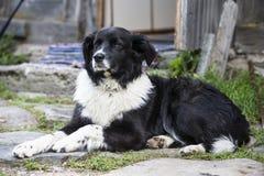 Beschmutzter Schäferschwarzweiss-hund Lizenzfreie Stockfotografie