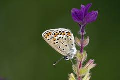 Beschmutzter Schmetterling auf purpurroten Blumen Stockfotos