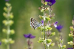 Beschmutzter Schmetterling auf purpurroten Blumen Lizenzfreie Stockfotografie