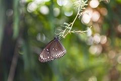Beschmutzter schwarzer Krähen-Schmetterling Stockfotografie