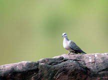 Beschmutzter Taubenvogel Lizenzfreie Stockbilder