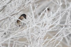 Beschmutzter Towhee pearched auf einem bereiften Baumast lizenzfreie stockfotos