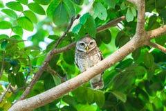 Beschmutzter Vogel der jungen Eule [Athene Brama] Lizenzfreies Stockfoto