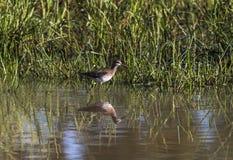 Beschmutzter wilder Stark-Knie-Vogel, der im Wasser steht lizenzfreie stockfotografie