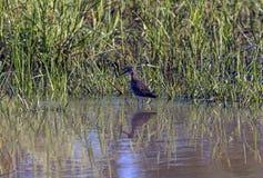 Beschmutzter wilder Stark-Knie-Vogel, der im Wasser steht lizenzfreies stockbild