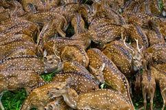 Beschmutztes Deers Lizenzfreie Stockbilder