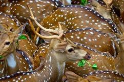 Beschmutztes Deers Stockfoto