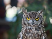 Beschmutztes Eagle Owl-Porträt mit Bokeh-Hintergrund Stockfotos