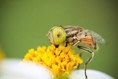 Beschmutztes gelbes Auge hoverfly lizenzfreie stockfotografie