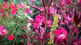 Beschmutztes grünes Caterpillar stock footage