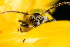 Beschmutztes Gurken-Käfer-Gesicht auf gelber Blume lizenzfreie stockfotos