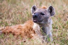 Beschmutztes Hyänenporträt am ersten Licht (Crocuta Crocuta), Lizenzfreie Stockfotografie