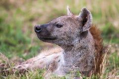 Beschmutztes Hyänenporträt am ersten Licht (Crocuta Crocuta), Lizenzfreies Stockbild