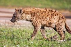 Beschmutztes Hyänenporträt am ersten Licht (Crocuta Crocuta), Stockbild