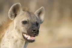 Beschmutztes Hyäneportrait Stockbild