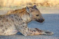 Beschmutztes Hyaena Stockbilder