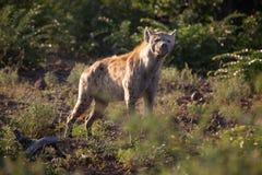 Beschmutztes hyenna Stockfoto