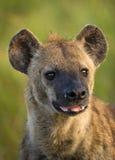 Beschmutztes Hyäne-Portrait Stockbild
