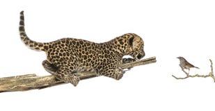 Beschmutztes Leopardjunges auf einer Niederlassung, die einen Vogel betrachtet Lizenzfreie Stockfotografie