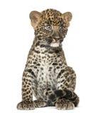 Beschmutztes Leopardjungssitzen - Panthera pardus, 7 Wochen alt lizenzfreies stockbild