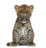 Beschmutztes Leopardjungssitzen - Panthera pardus, 7 Wochen alt lizenzfreies stockfoto