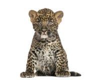 Beschmutztes Leopardjungssitzen - Panthera pardus, 7 Wochen alt Lizenzfreie Stockfotos