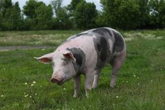 Beschmutztes pietrian Zuchtschwein, das an der Farm der Tiere auf Weide weiden lässt Lizenzfreie Stockfotos