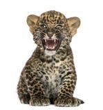 Beschmutztes sitzendes und Brüllen Panthera pardus Leopardjunges Stockfotos