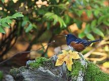 Beschmutztes Towhee Pipilo maculatus Fall-Blatt stockfoto