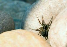 Beschmutztes Wolfspinne Pardosa amentata Stockfoto