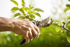 Beschneidung der Bäume mit Baumschere Lizenzfreie Stockfotos