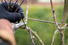 Beschneidung des älteren Mannes ein Weinrebeweinberg lizenzfreies stockbild