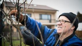 Beschneidung des älteren Mannes ein Weinrebeweinberg lizenzfreie stockfotos