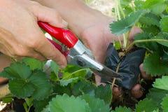 Beschneidung des Säens mit Gartenscheren Stockfotos