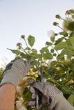 Beschneidung die Rosen Lizenzfreie Stockfotografie
