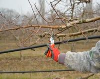 Beschneidung ein Apfelbaum mit Gartenbaumschere im Winter stockfotografie