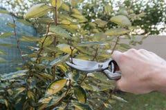 Beschneidung eine Hecke im Garten, Saisongartenarbeit Stockfoto