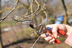 Beschneidung von Bäumen mit Baumschere im Garten Lizenzfreie Stockfotografie