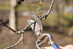 Beschneidung von Bäumen mit Baumschere im Garten Lizenzfreie Stockfotos