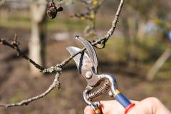 Beschneidung von Bäumen mit Baumschere im Garten Stockfotos