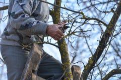 Beschneidung von Bäumen mit Baumschere im Garten lizenzfreie stockbilder